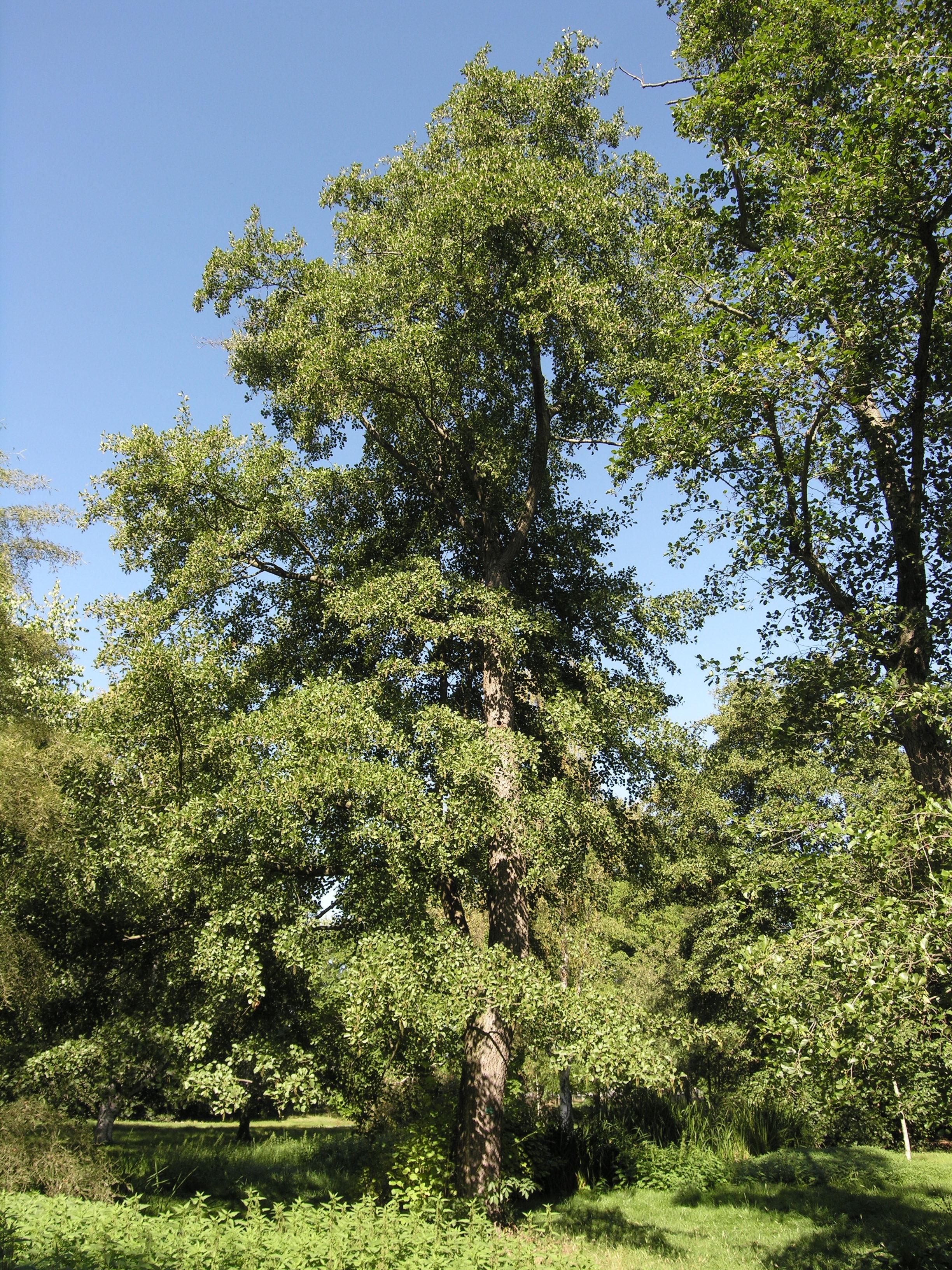 © Dipartimento di Scienze della Vita, Università degli Studi di Trieste<br>by Andrea Moro<br>Joinville-le-Pont, Arboretum de l'Ecole Du Breuil / Jardin botanique de la Ville de Paris, Francia, 23/09/2010<br>Distributed under CC-BY-SA 4.0 license.