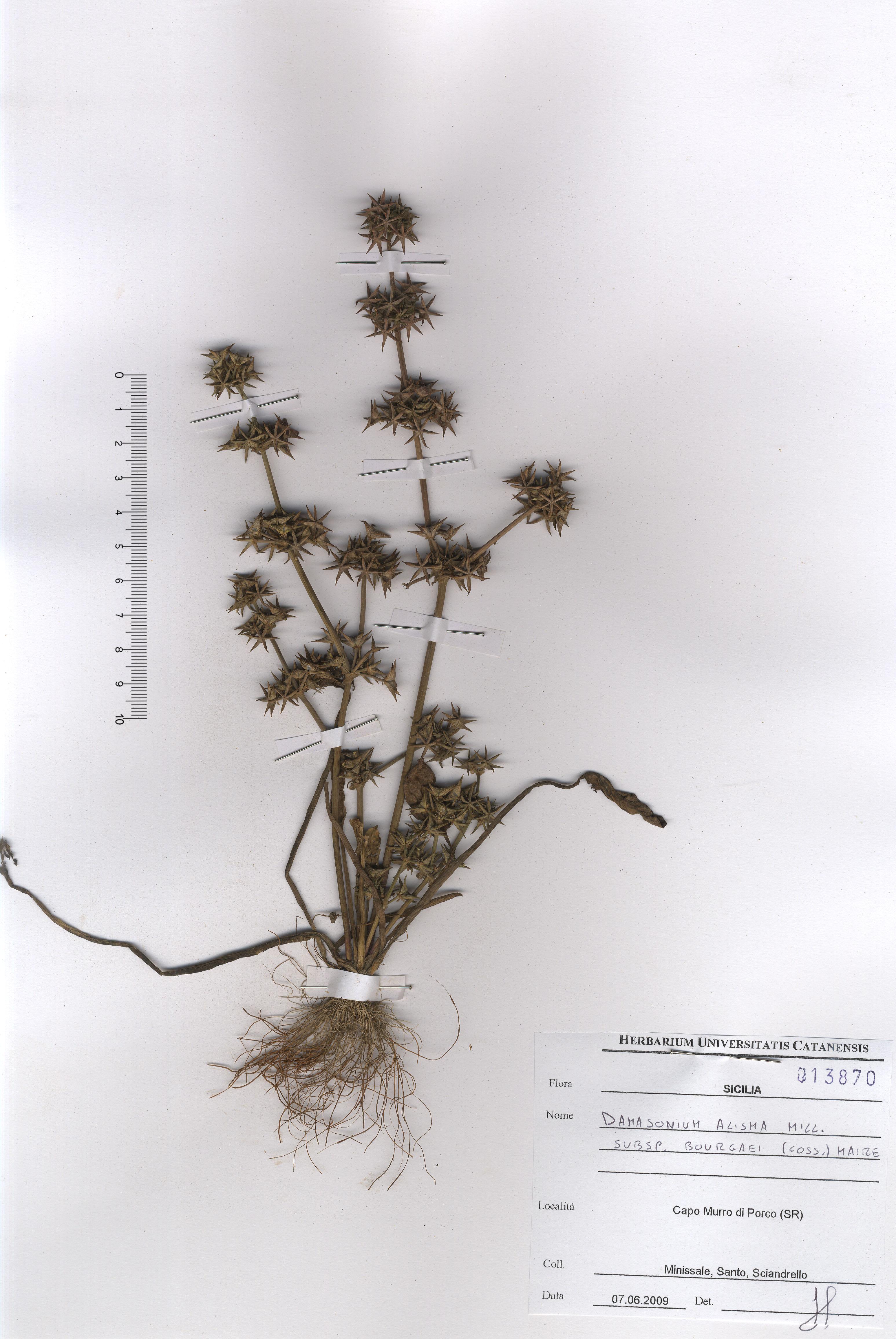 © Hortus Botanicus Catinensis - Herb. sheet 013870<br>