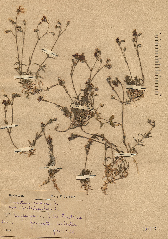 © Hortus Botanicus Catinensis - Herb. sheet 001732<br>