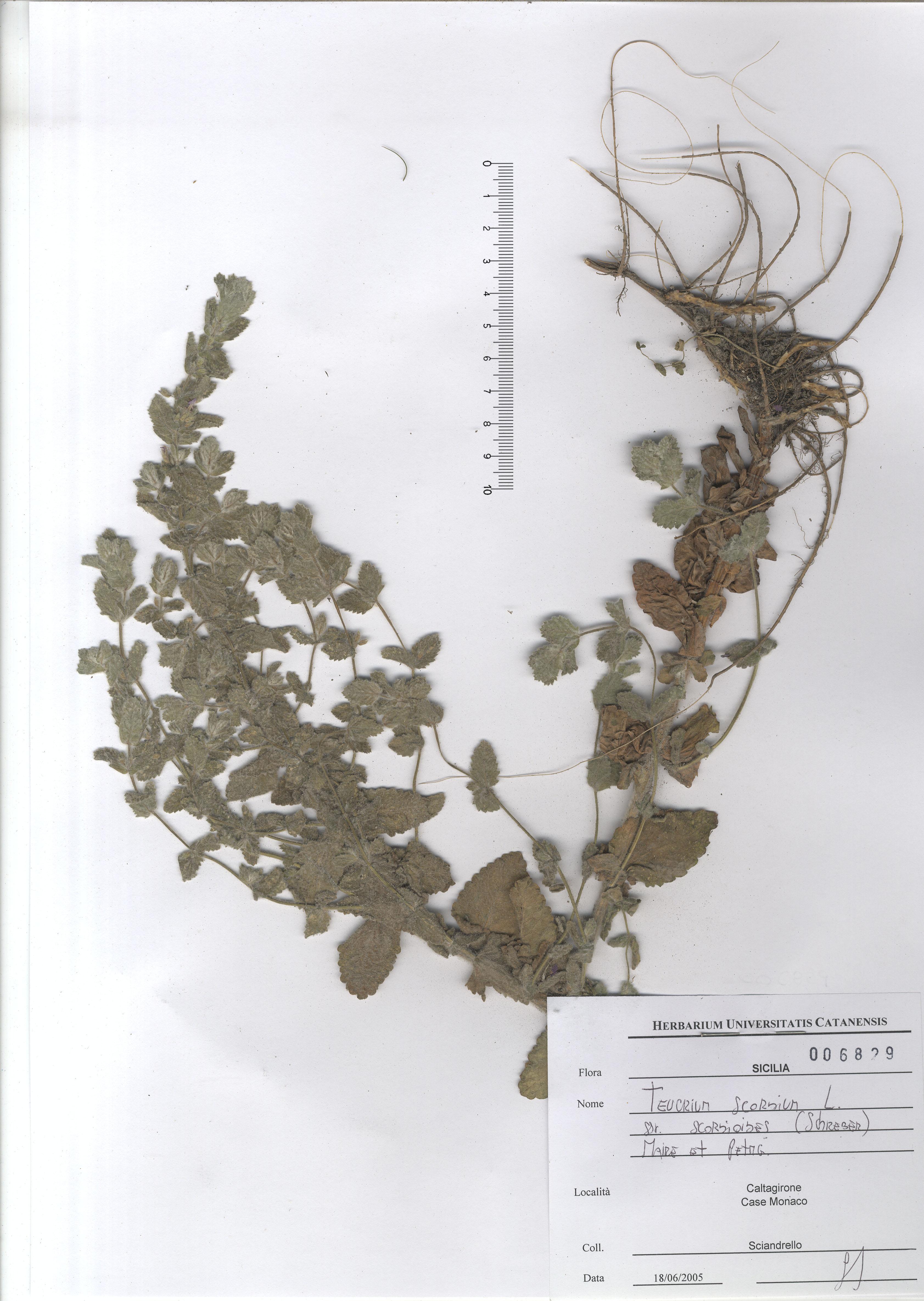 © Hortus Botanicus Catinensis - Herb. sheet 006829<br>