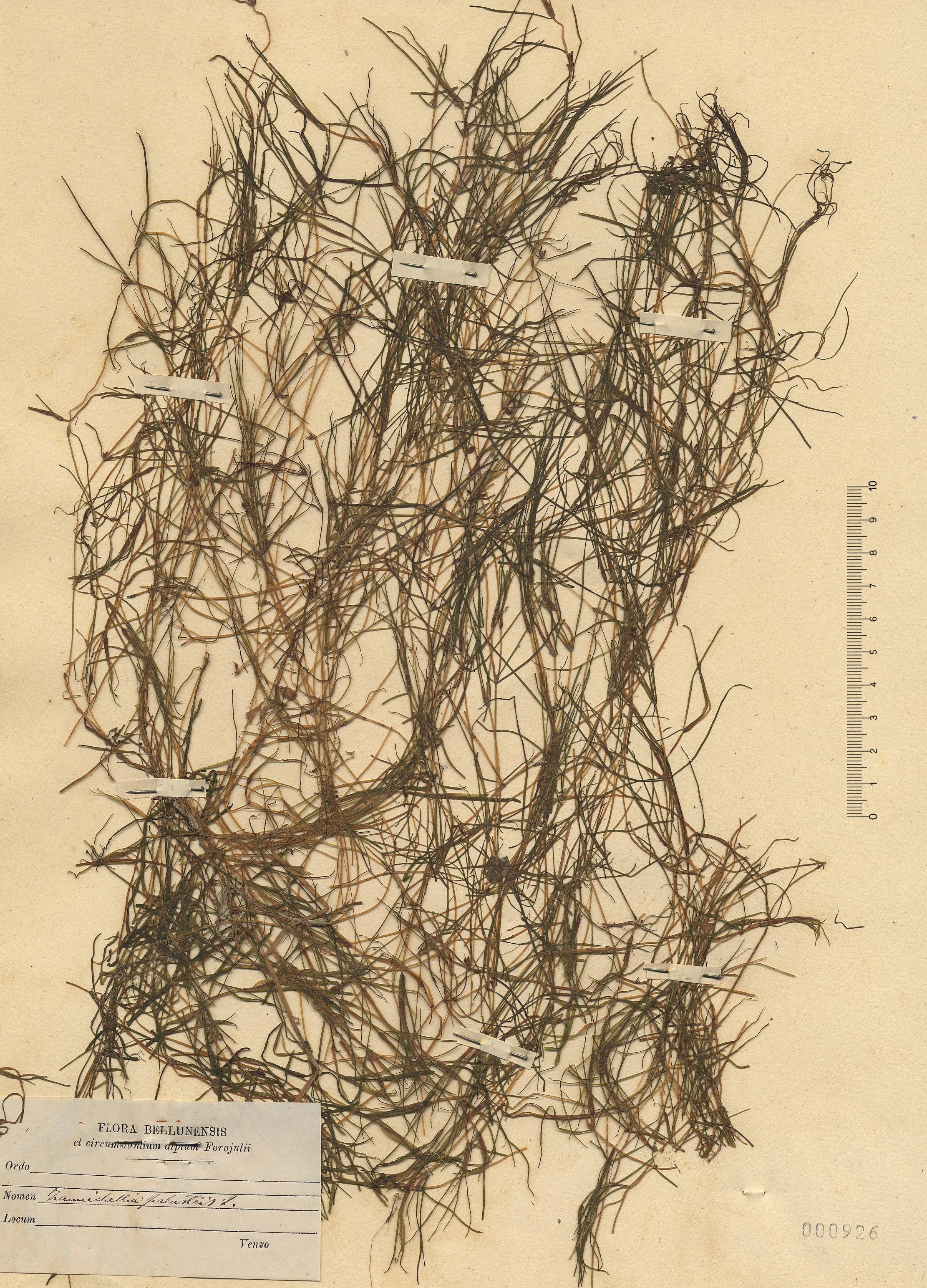 © Hortus Botanicus Catinensis - Herb. sheet 000926<br>