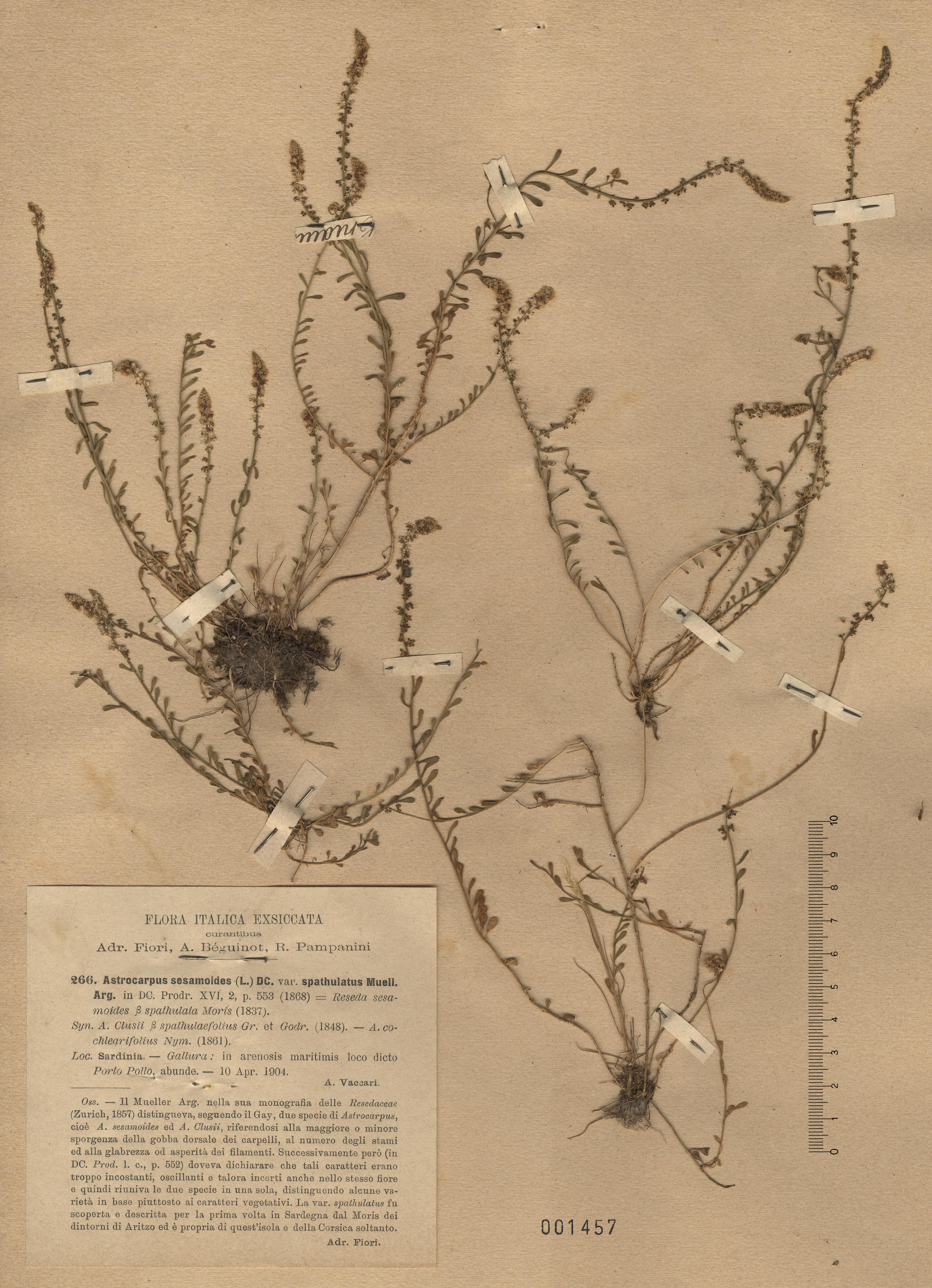 © Hortus Botanicus Catinensis - Herb. sheet 001457<br>