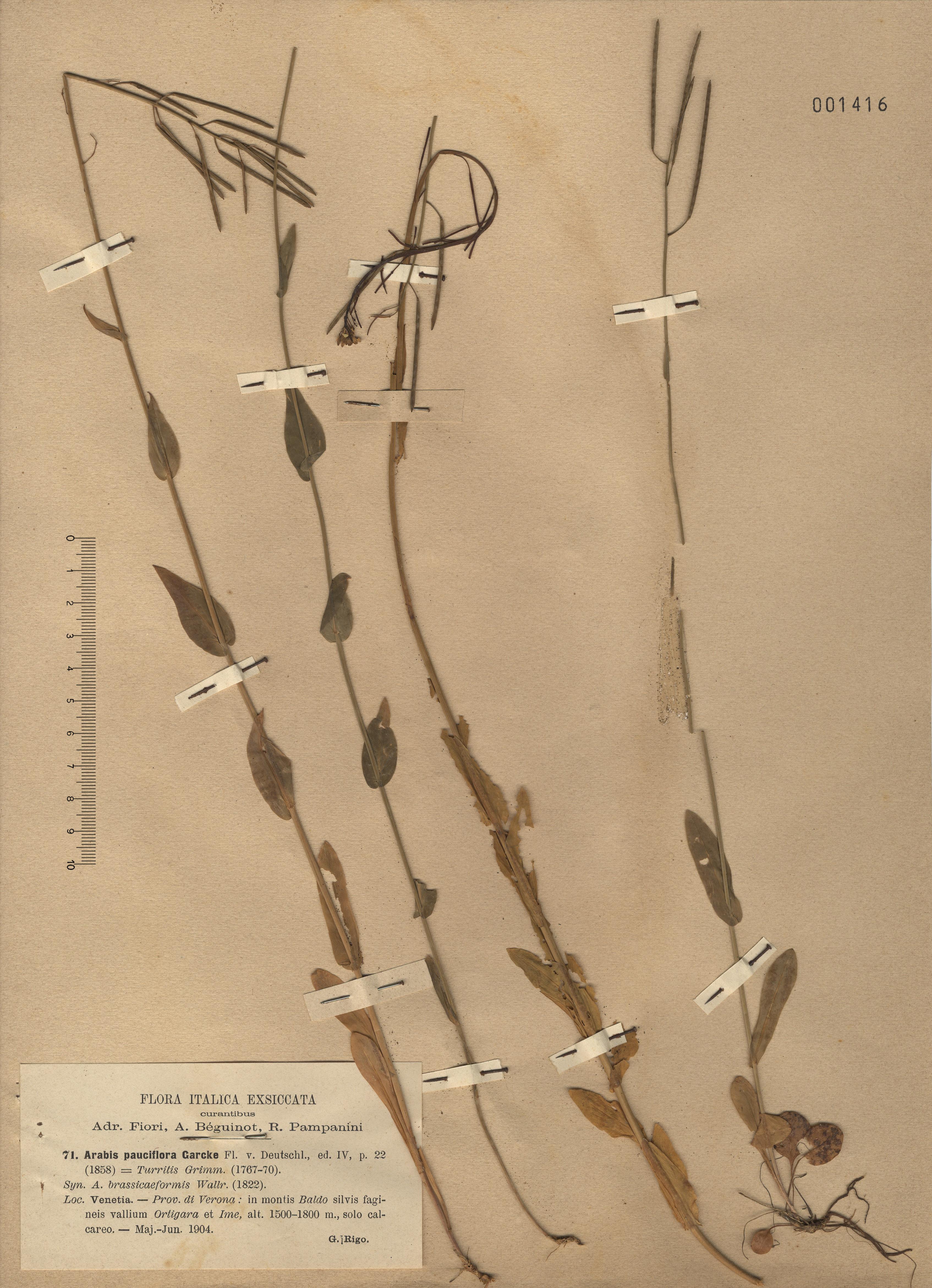 © Hortus Botanicus Catinensis - Herb. sheet 001416<br>