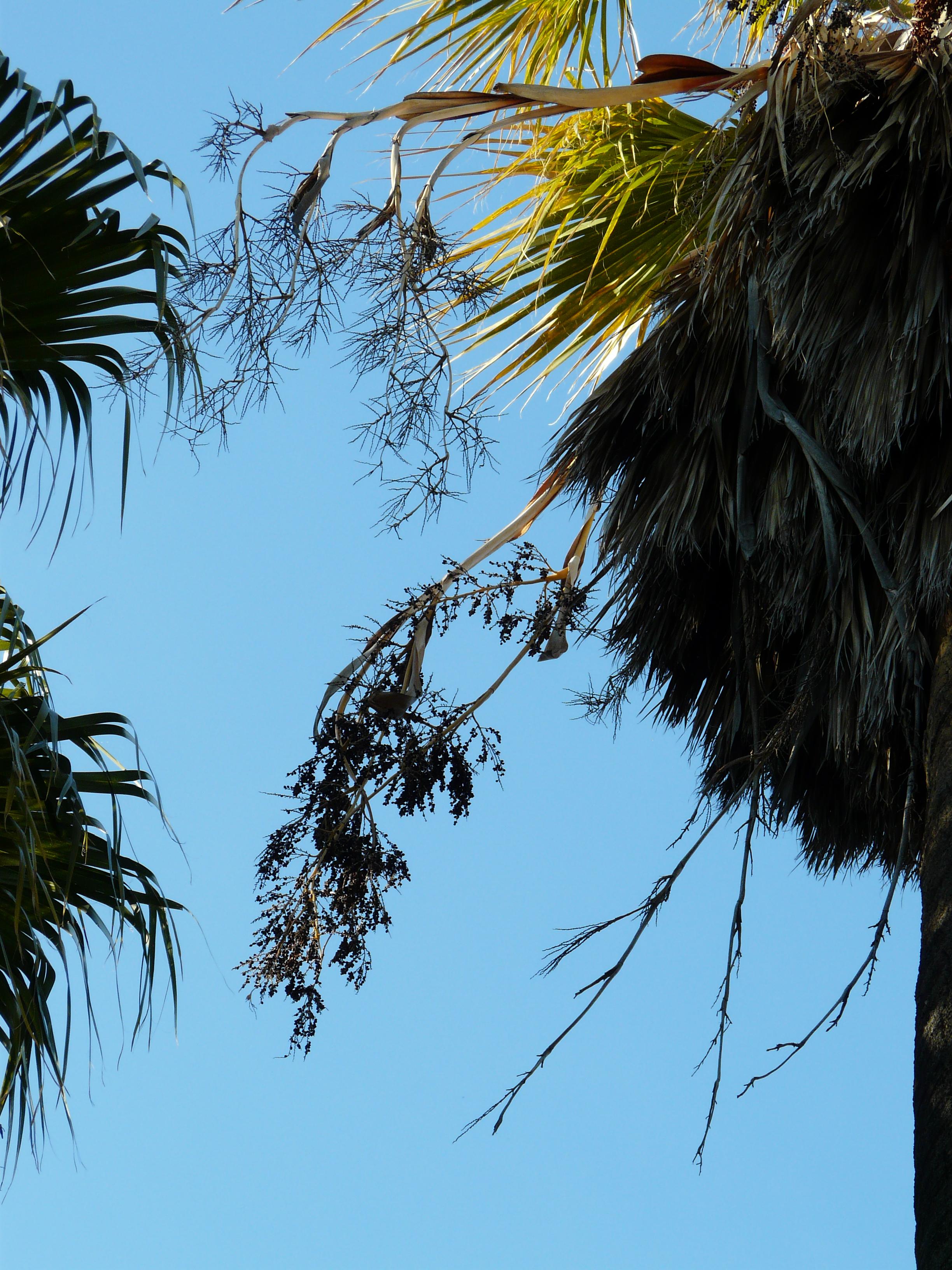 © Dipartimento di Scienze della Vita, Università degli Studi di Trieste<br>by Andrea Moro<br>Barcellona, Jardins de Mossen Costa i Llobera, Catalogna, Spagna, 03/02/2011<br>Distributed under CC-BY-SA 4.0 license.