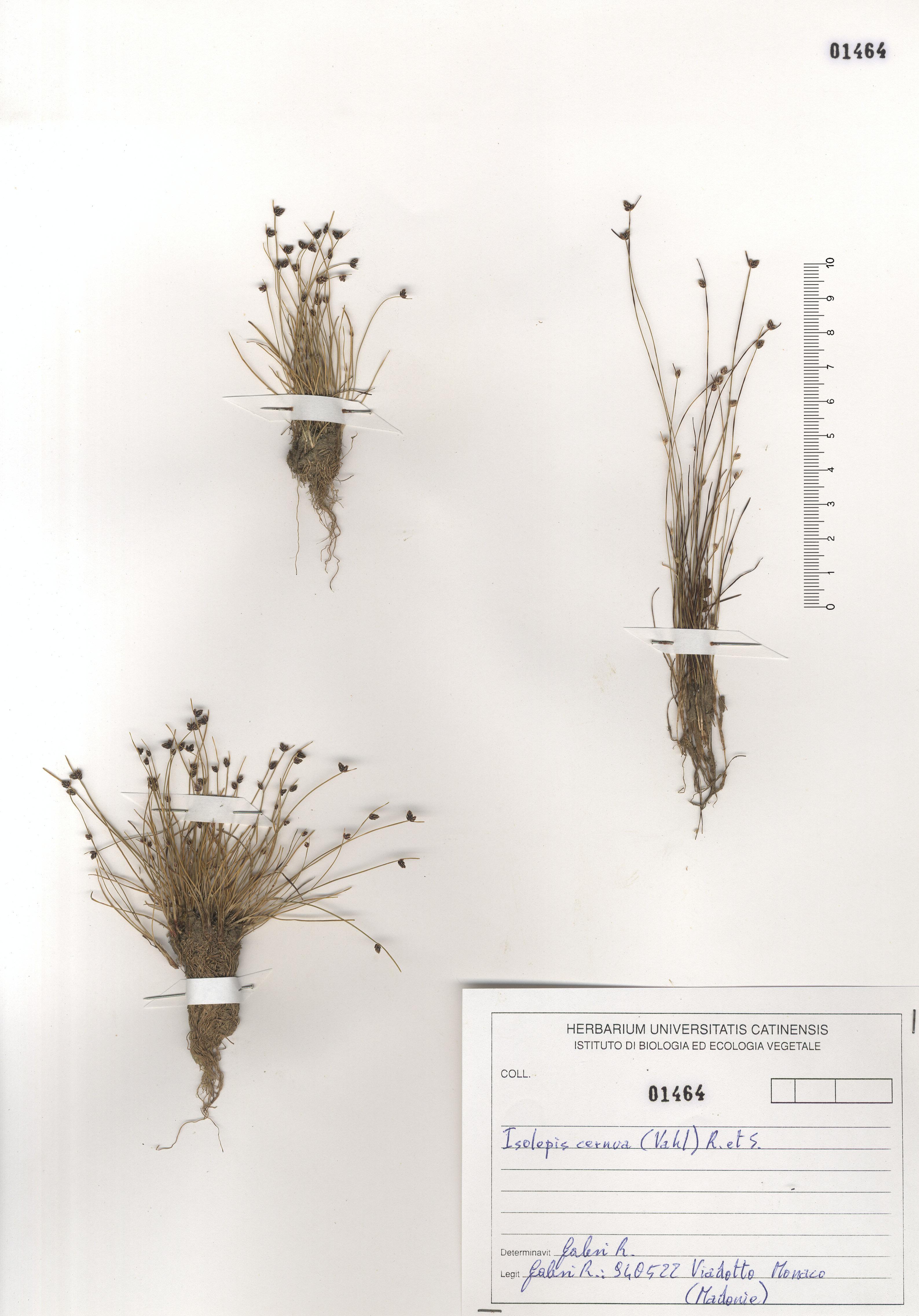 © Hortus Botanicus Catinensis - Herb. sheet 101464<br>