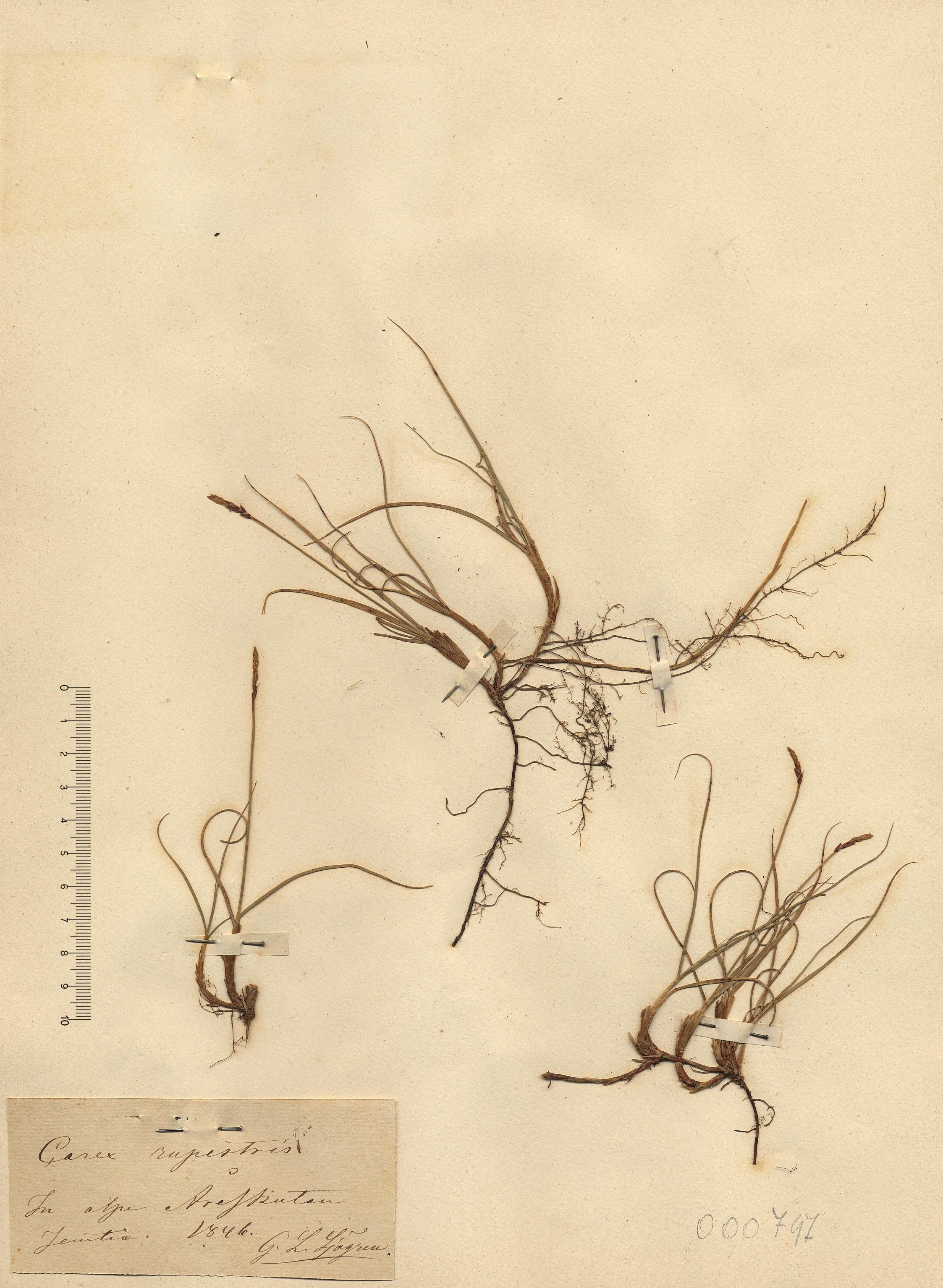 © Hortus Botanicus Catinensis - Herb. sheet 000747<br>