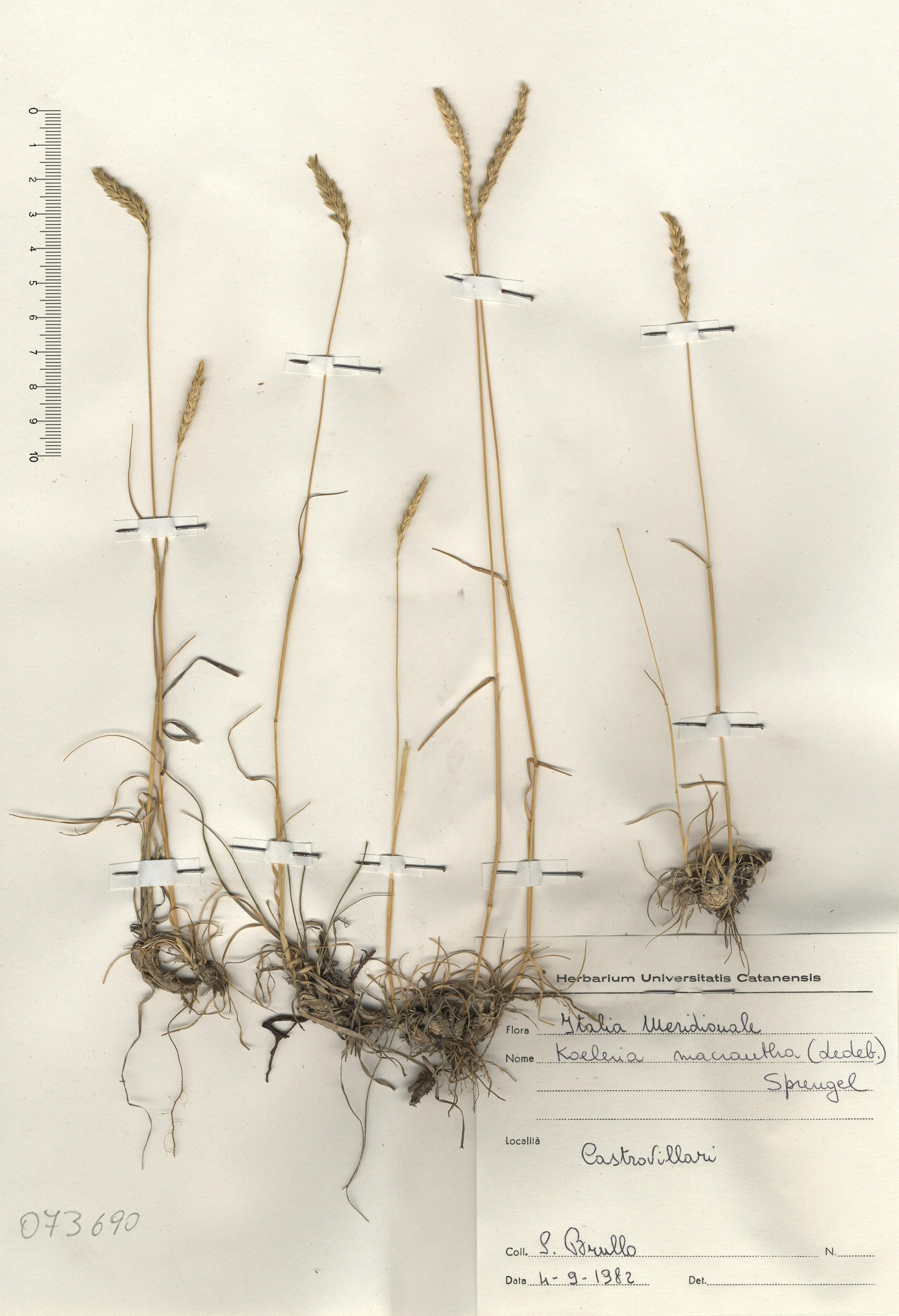 © Hortus Botanicus Catinensis - Herb. sheet 073690<br>