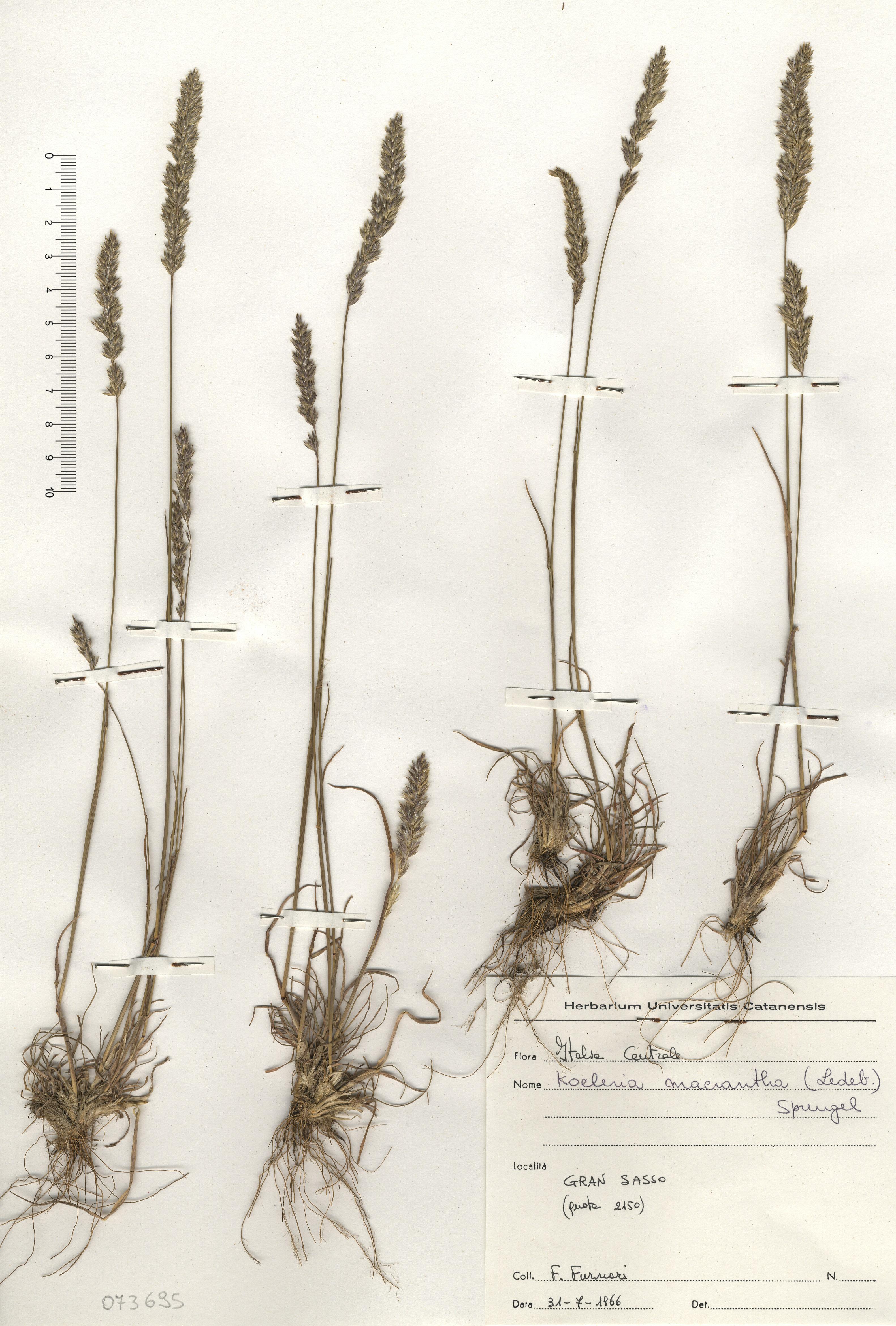 © Hortus Botanicus Catinensis - Herb. sheet 073695<br>