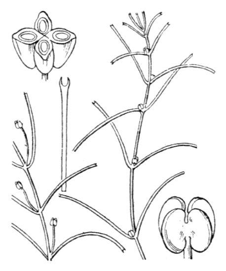 © Hippolyte Coste - Flore descriptive et illustrée de la France, de la Corse et des contrées limitrophes, 1901-1906 - Public domain, copyright expired<br>