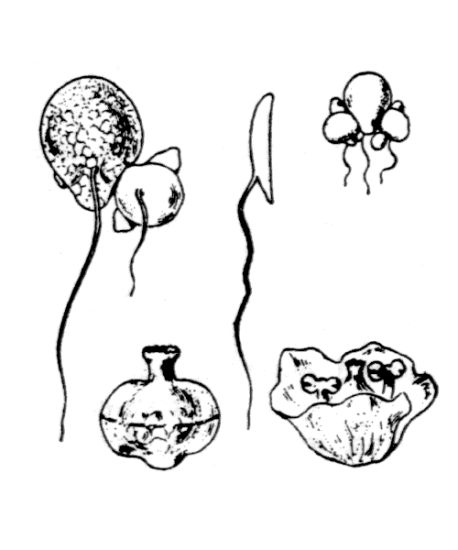 © Hippolyte Coste - Flore descriptive et illustrée de la France, de la Corse et des contrées limitrophes, 1901-1906 - Public domain – copyright expired.<br>