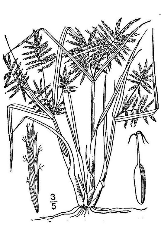 © USDA-NRCS PLANTS Database / Britton, N.L., and A. Brown. 1913. An illustrated flora of the northern United States, Canada and the British Possessions. Vol. 1: 306.<br>