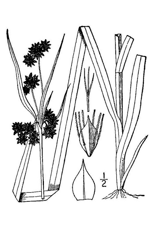 © USDA-NRCS PLANTS Database / Britton, N.L., and A. Brown. 1913. An illustrated flora of the northern United States, Canada and the British Possessions. Vol. 1: 335.\<br>