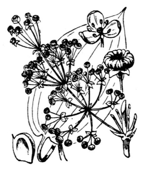 © Hippolyte Coste - Flore descriptive et illustrée de la France, de la Corse et des contrées limitrophes, 1901-1906 - Public domain - copyright expired.<br>
