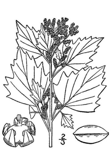 © USDA-NRCS PLANTS Database / Britton, N.L., and A. Brown. 1913. An illustrated flora of the northern United States, Canada and the British Possessions. Vol. 2: 13.<br>