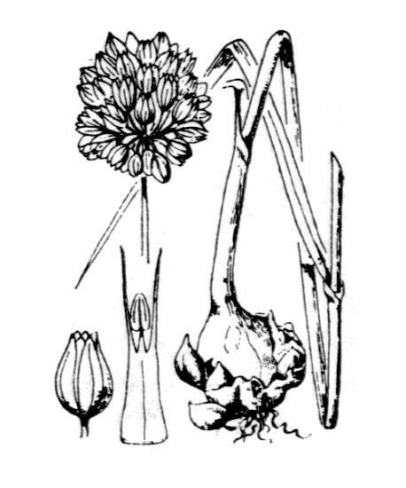© Hippolyte Coste - Flore descriptive et illustrée de la France, de la Corse et des contrées limitrophes, 1901-1906 – Public domain - copyright  expired.<br>