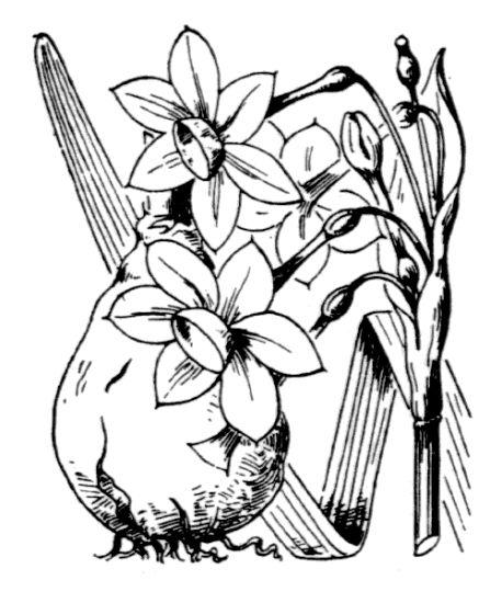 &copy; Hippolyte Coste - Flore descriptive et illustrée de la France, de la Corse et des contrées limitrophes, 1901-1906 – Public domain - copyright  expired.<br>