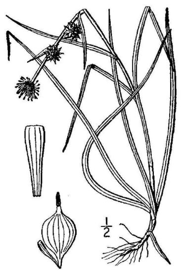 © USDA-NRCS PLANTS Database / Britton, N.L., and A. Brown. 1913. An illustrated flora of the northern United States, Canada and the British Possessions. Vol. 1: 74.<br>