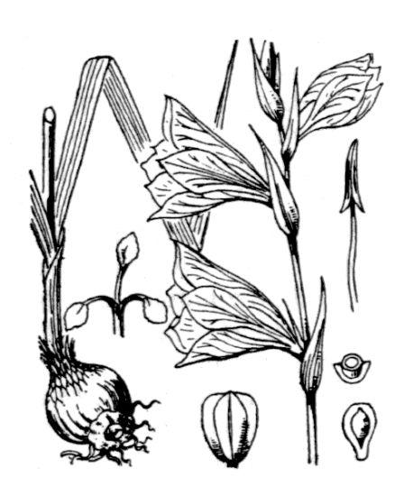 © Hippolyte Coste - Flore descriptive et illustrée de la France, de la Corse et des contrées limitrophes, 1901-1906 - Public domain - copyright expired..<br>
