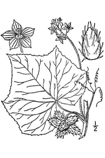 © USDA-NRCS PLANTS Database / Britton, N.L., and A. Brown. 1913. An illustrated flora of the northern United States, Canada and the British Possessions. Vol. 3: 292.<br>