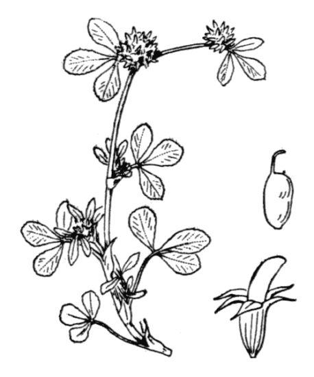 © Hippolyte Coste - Flore descriptive et illustrée de la France, de la Corse et des contrées limitrophes, 1901-1906 - Public domain - copyright expired<br>