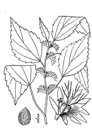 © USDA-NRCS PLANTS Database / Britton, N.L., and A. Brown. 1913. An illustrated flora of the northern United States, Canada and the British Possessions. Vol. 2: 458.<br>