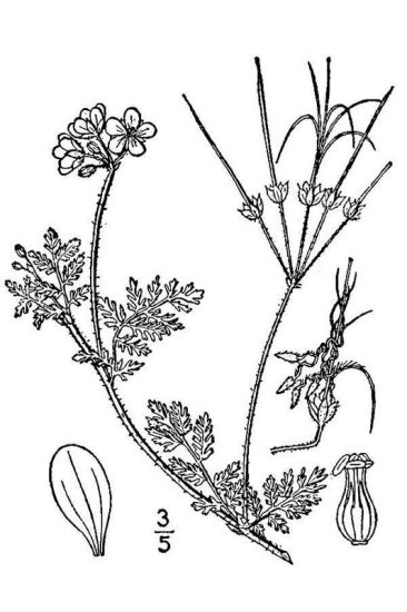 © USDA-NRCS PLANTS Database / Britton, N.L., and A. Brown. 1913. An illustrated flora of the northern United States, Canada and the British Possessions. Vol. 2: 430.<br>