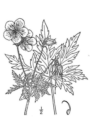 © USDA-NRCS PLANTS Database / Britton, N.L., and A. Brown. 1913. An illustrated flora of the northern United States, Canada and the British Possessions. Vol. 2: 426.<br>
