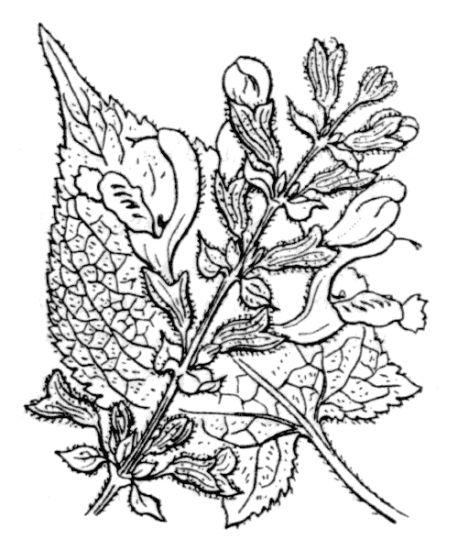 © Hippolyte Coste - Flore descriptive et illustrée de la France, de la Corse et des contrées limitrophes, 1901-1906 – Public domain - copyright expired<br>