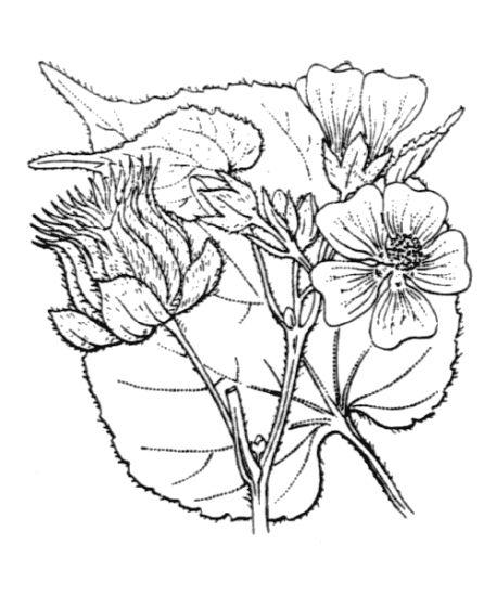 &copy; Hippolyte Coste - Flore descriptive et illustrée de la France, de la Corse et des contrées limitrophes, 1901-1906 – Public domain - copyright expired<br>