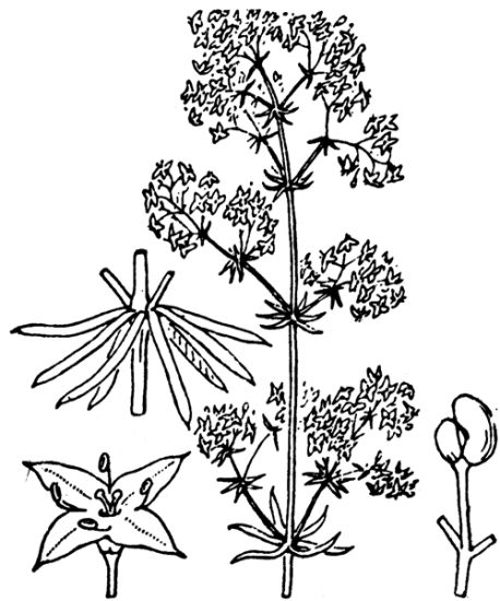 &copy; Hippolyte Coste - Flore descriptive et illustrée de la France, de la Corse et des contrées limitrophes, 1901-1906 - Public domain - copyright expired.<br>
