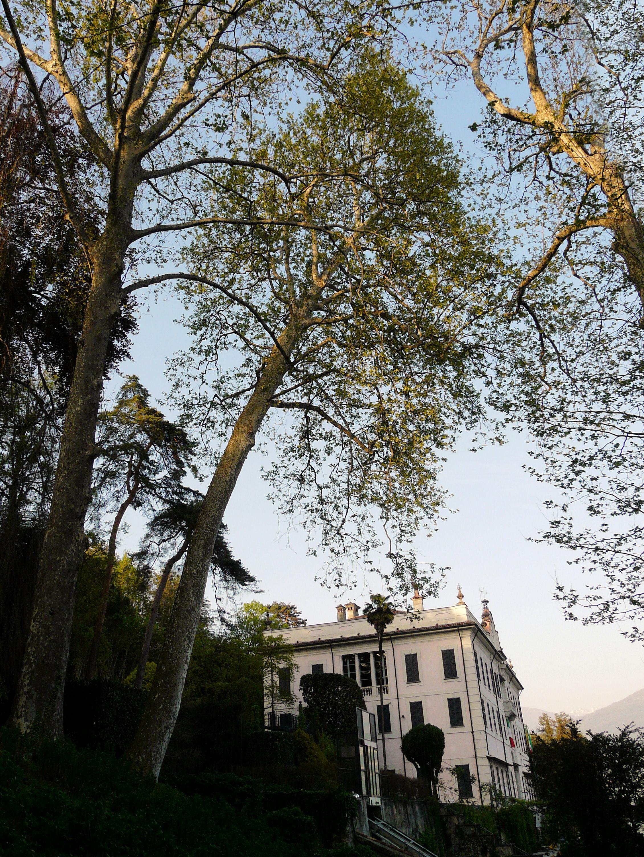 © Dipartimento di Scienze della Vita, Università degli Studi di Trieste<br>by Andrea Moro<br>Comune di Tremezzo, Giardini di Villa Carlotta, CO, Lombardia, Italia, 11/04/2011<br>Distributed under CC-BY-SA 4.0 license.