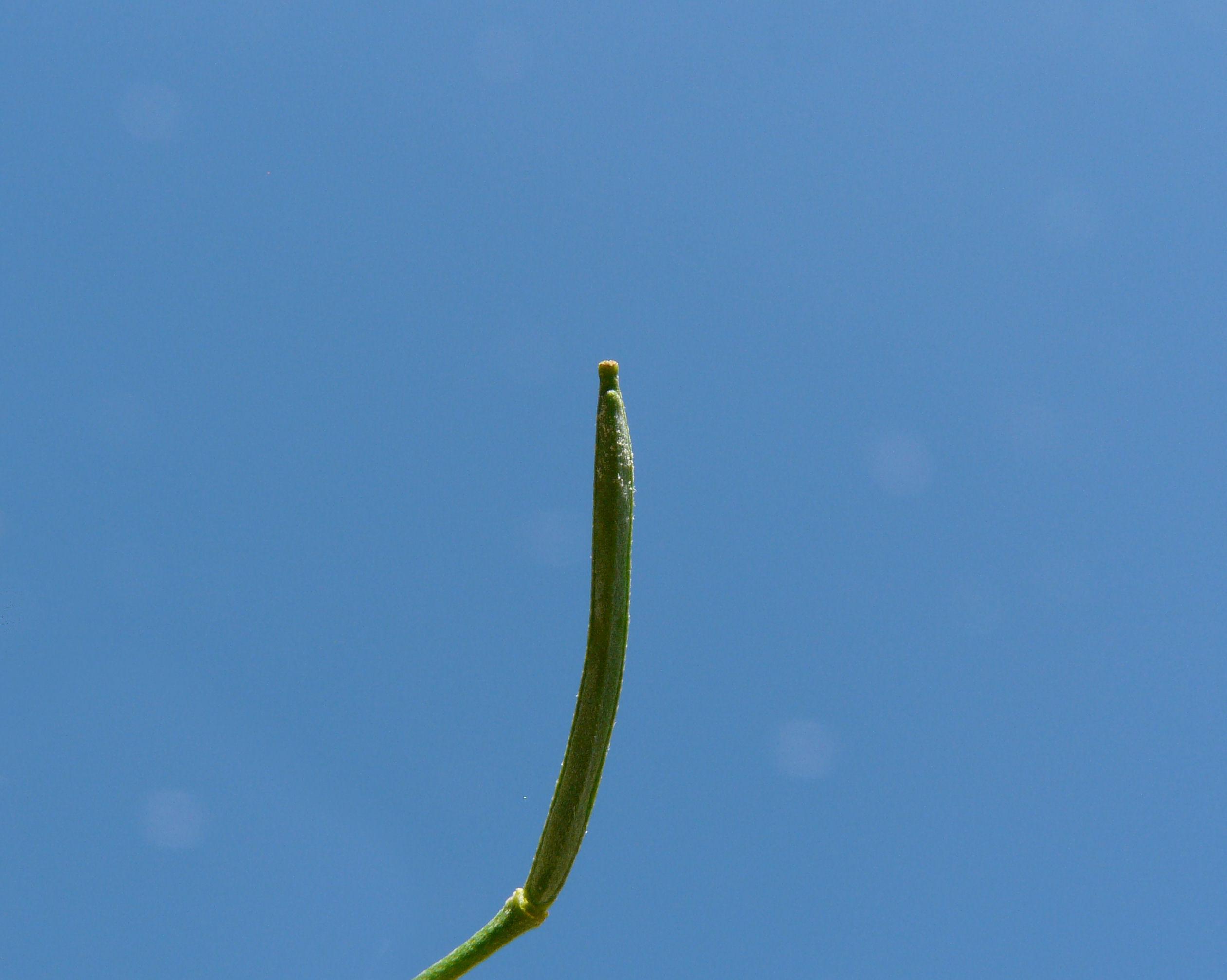 © Dipartimento di Scienze della Vita, Università degli Studi di Trieste<br>by Andrea Moro<br>Comune di Padova, Orto botanico dell'Università di Padova, PD, Veneto, Italia, 15/05/2011<br>Distributed under CC-BY-SA 4.0 license.