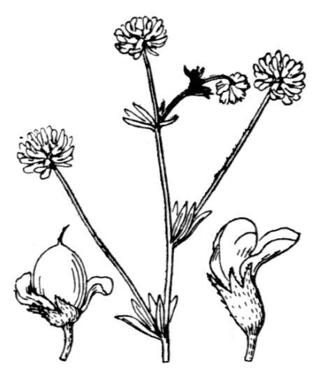 &copy; Hippolyte Coste - Flore descriptive et illustrée de la France, de la Corse et des contrées limitrophes, 1901-1906 - Public domain - copyright has expired.<br>