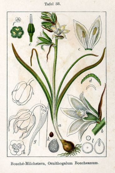 © Jacob Sturm, Johann Georg Sturm - Deutschlands Flora in Abbildungen (1796). - This image is in the public domain because its copyright has expired.<br>