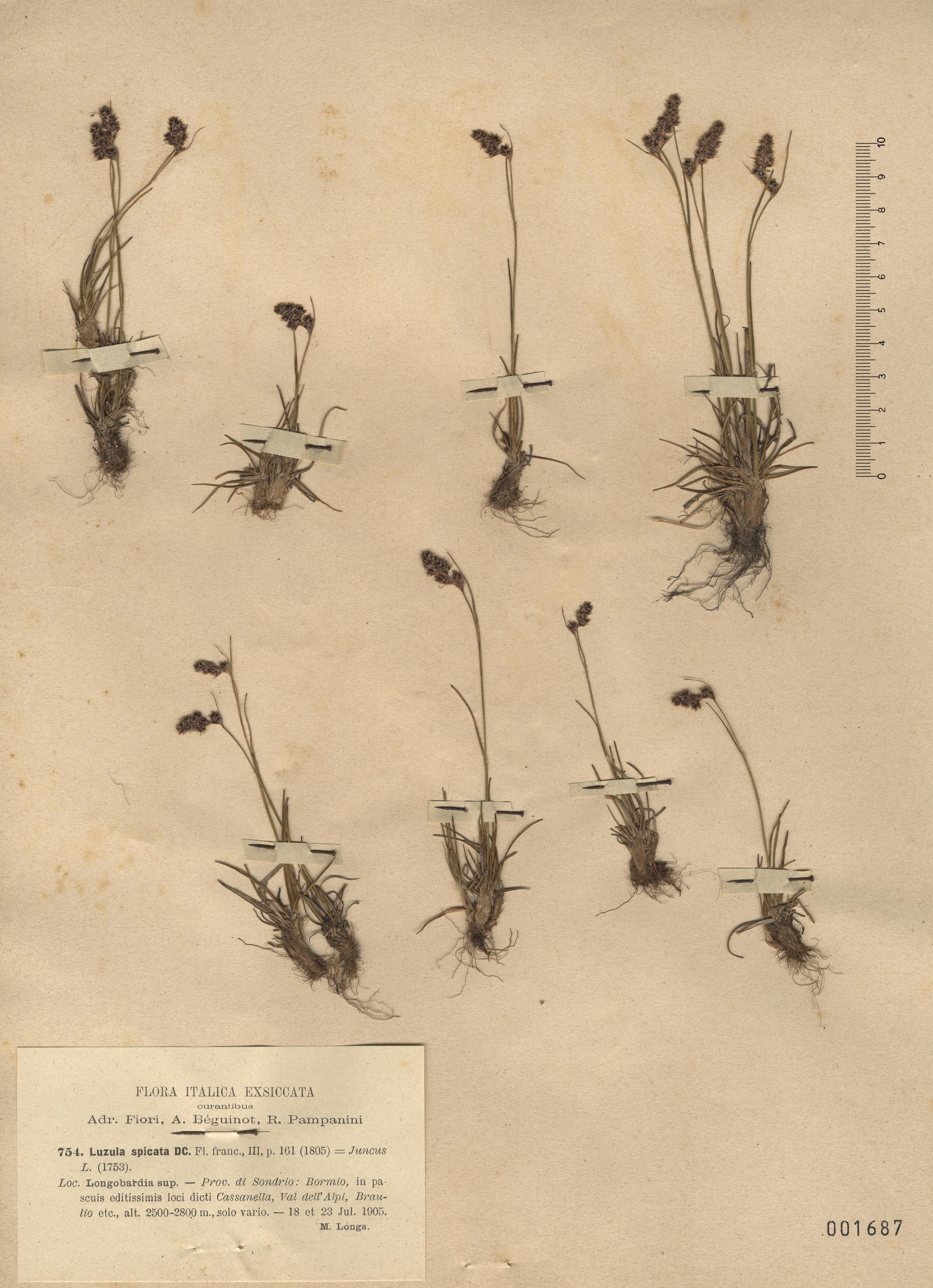 © Hortus Botanicus Catinensis - Herb. sheet 001687<br>