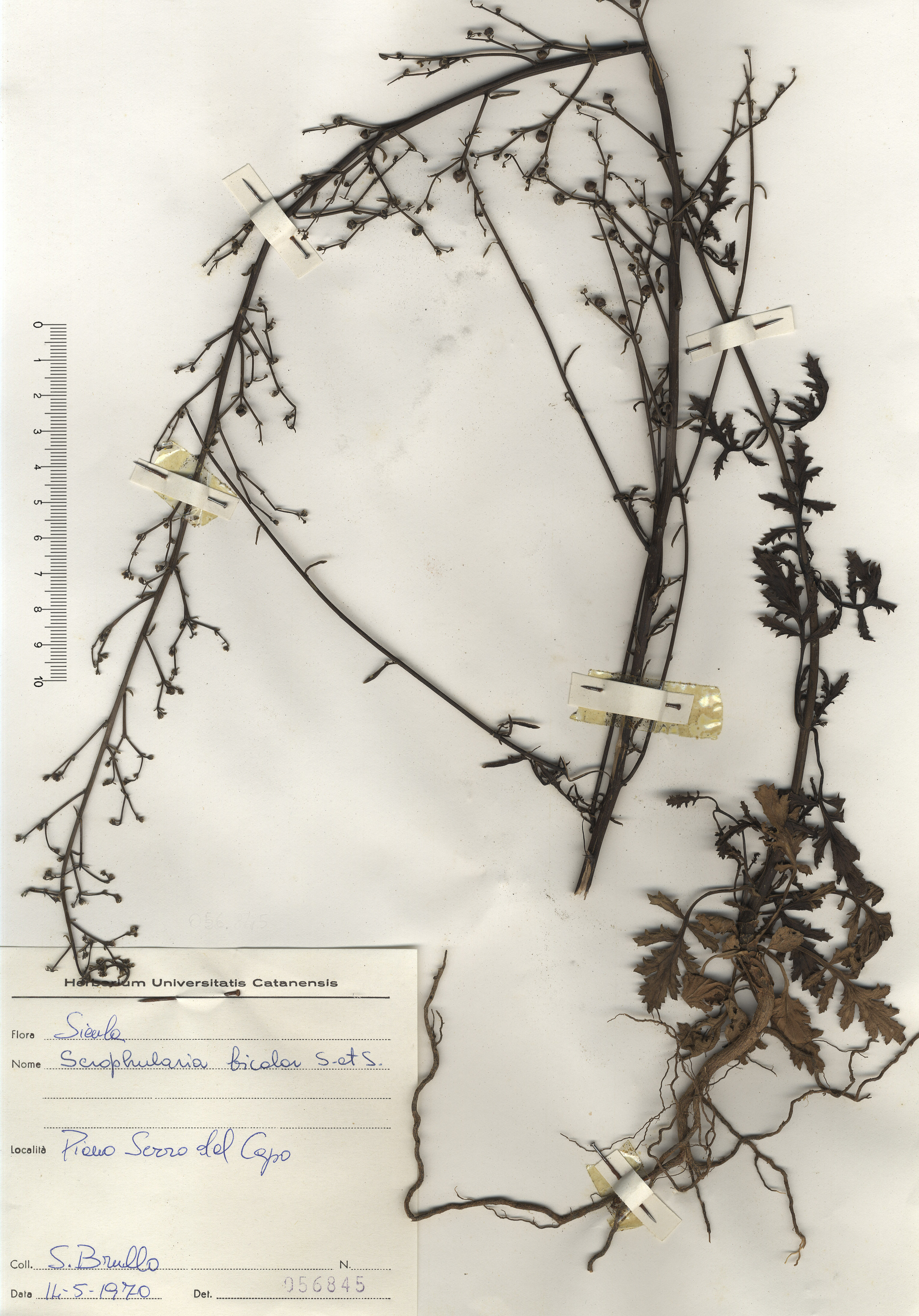 © Hortus Botanicus Catinensis - Herb. sheet  056845<br>