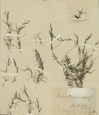 Zannichellia palustris L. subsp. polycarpa (Nolte) K.Richt.<br>&copy; Herbarium - Jardin Botanique et Conservatoide de la Ville de Genever<br>Type specimen,
