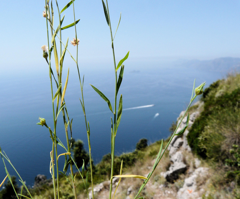 © Dipartimento di Scienze della Vita, Università di Trieste<br>by Andrea Moro<br>Comune di Praiano, lungo il sentiero per San Domenico, SA, Campania, Italia, 12/07/2011<br>Distributed under CC-BY-SA 4.0 license.