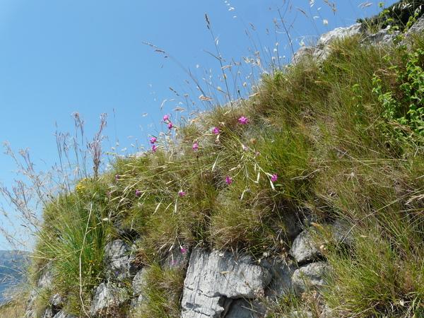 Dianthus longicaulis Ten.