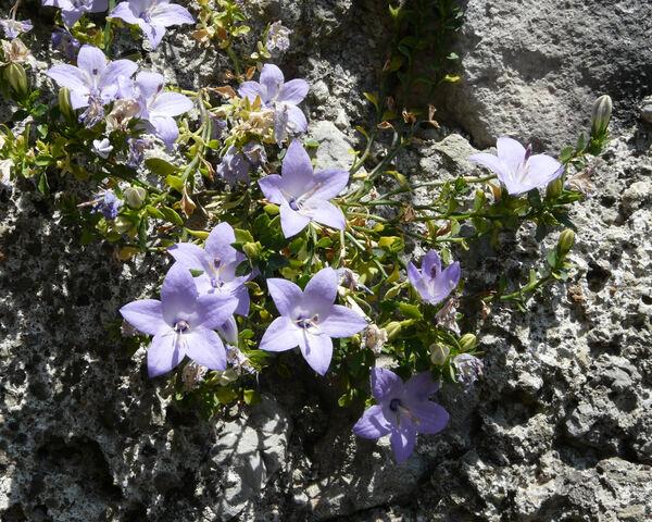 Campanula fragilis Cirillo