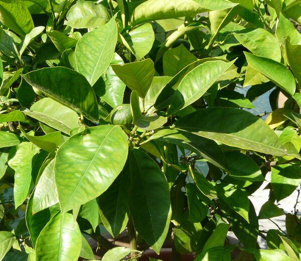 Citrus x aurantium L. 'Foetifera'