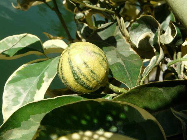 Citrus x aurantium L. 'Variegato'