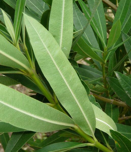 Nerium oleander L. 'Flore Pleno'