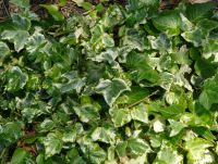 Hedera helix L. 'White Knight'