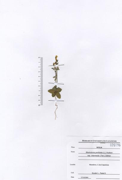 Blackstonia perfoliata (L.) Huds. subsp. intermedia (Ten.) Zeltner