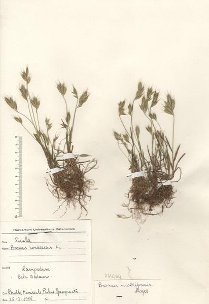 Bromus hordeaceus L. subsp. thominei (Hardouin) Braun-Blanq.
