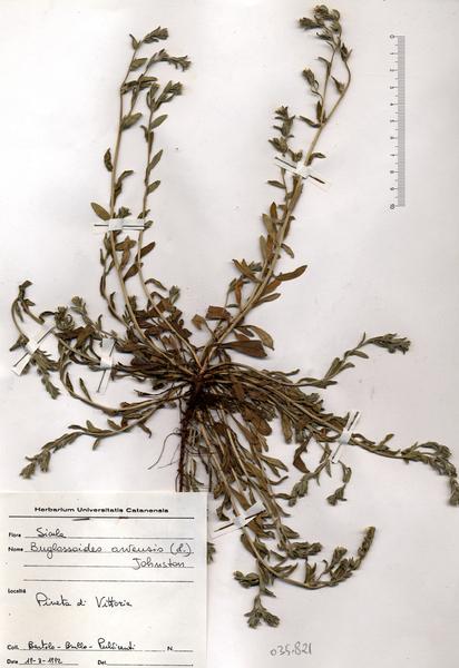Buglossoides arvensis (L.) I.M.Johnst. subsp. arvensis