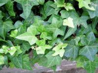 Hedera helix L. 'Baby Face'