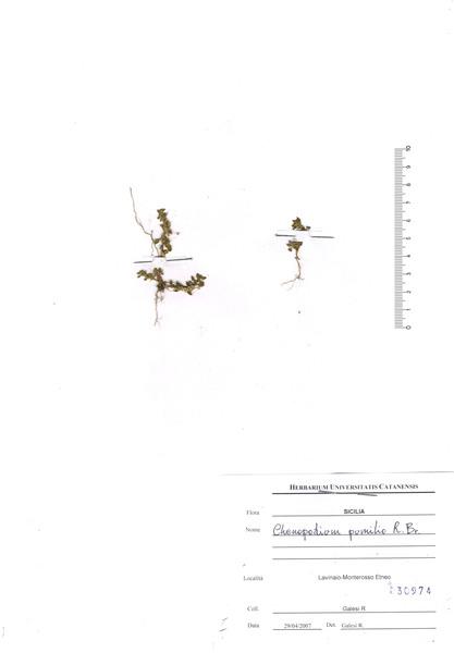 Dysphania pumilio (R.Br.) Mosyakin & Clemants