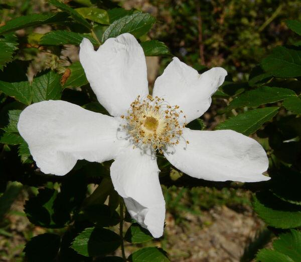 Rosa 'Paulii'